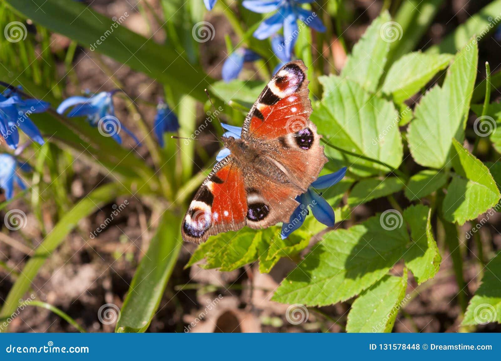 Fjäril och små blåa blommor