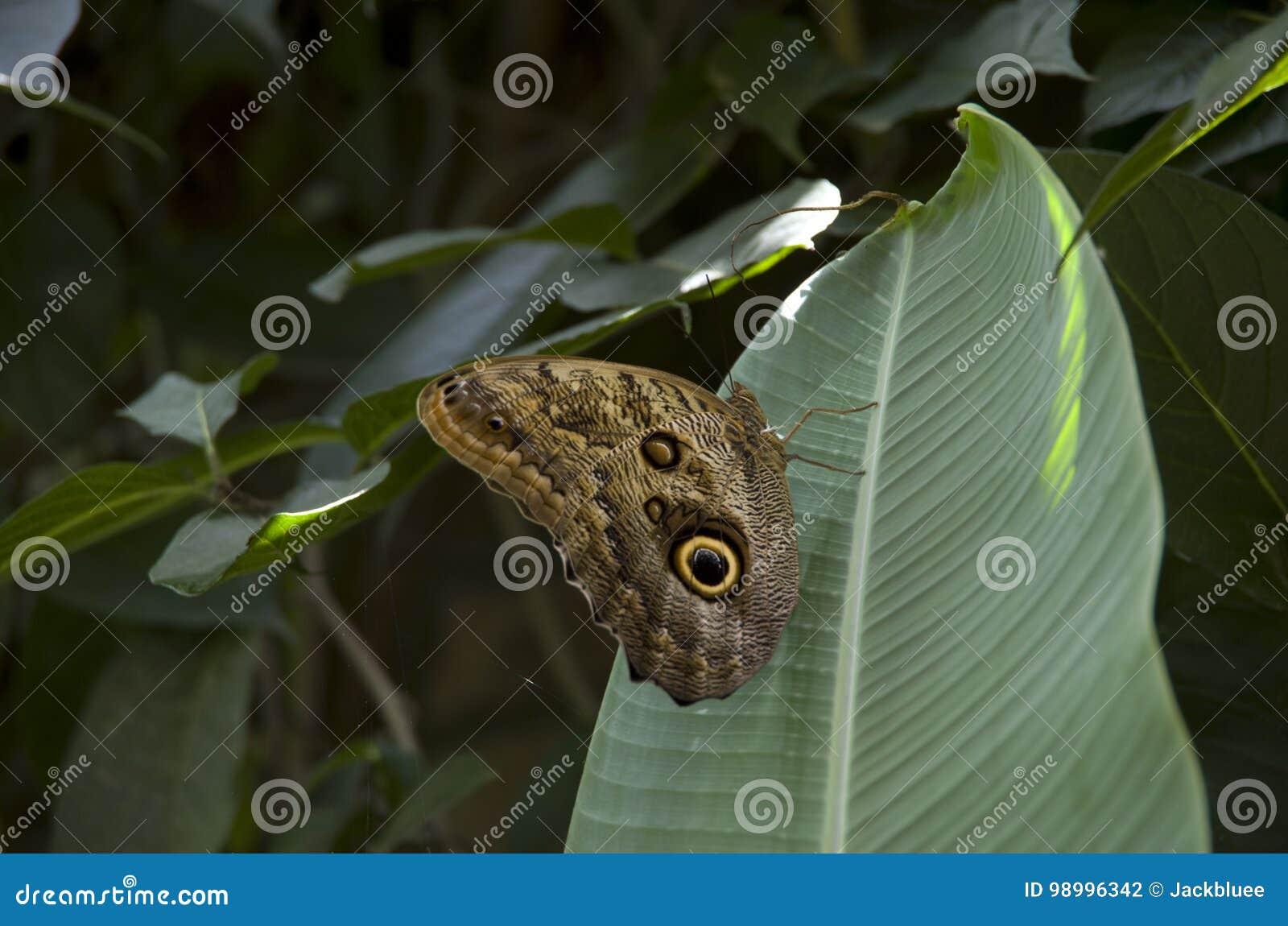 Fjäril på banantjänstledigheter