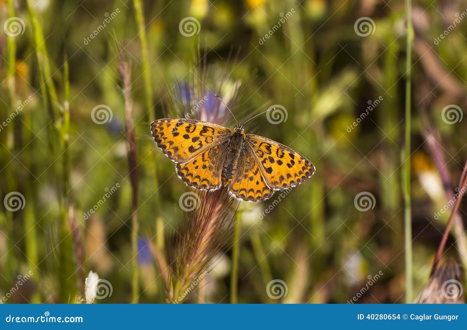 Fjäril på en grov spik (nymphalidaen - den Melitaea småsaker)