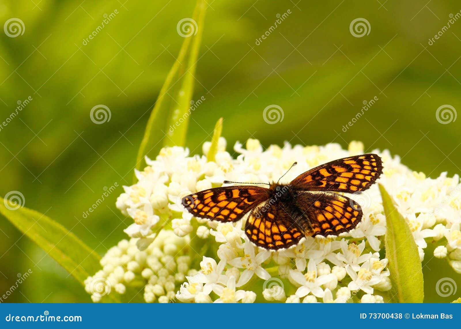 Fjäril på en vit blomma