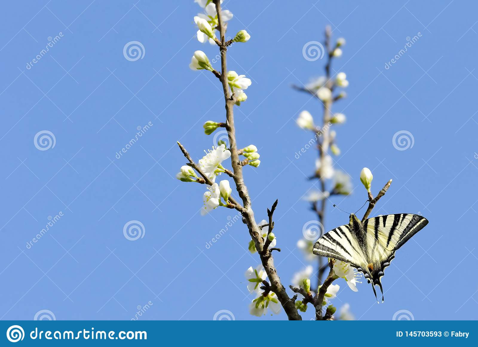 Fjäril på ett blommande träd