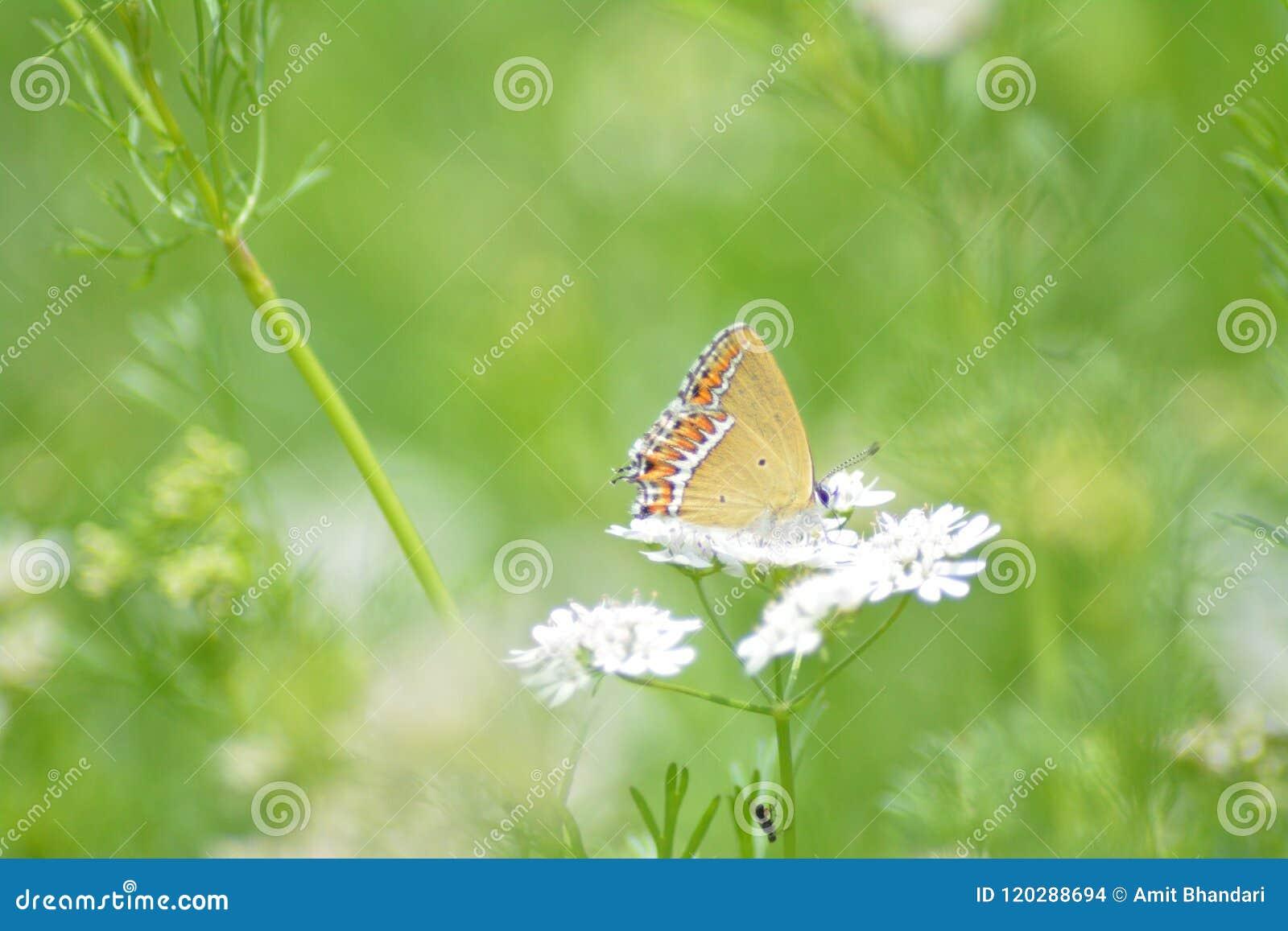 Fjäril på korianderväxten