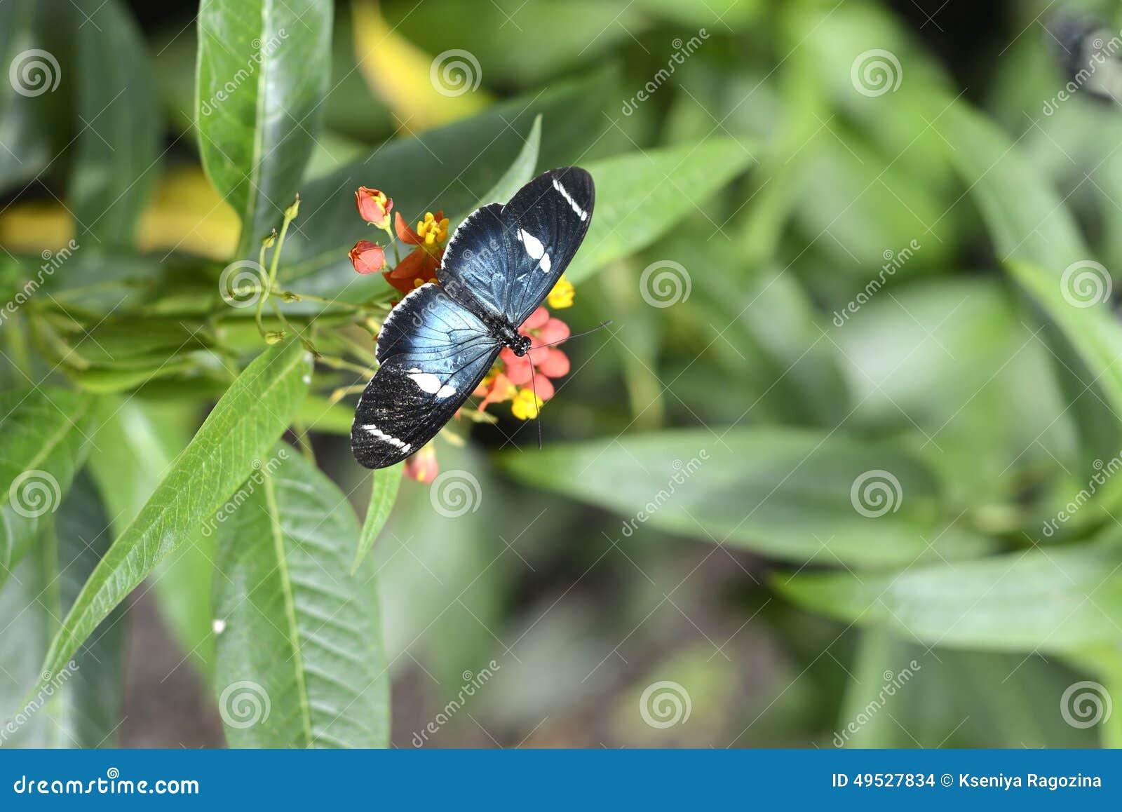 Fjärilar Ecuador