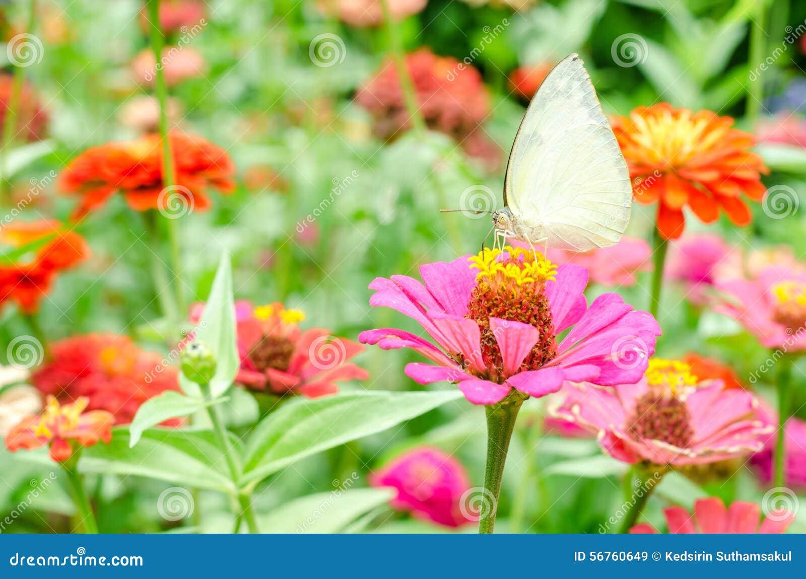 Fjärilar pollinerar zinniablomman i utomhus- trädgård