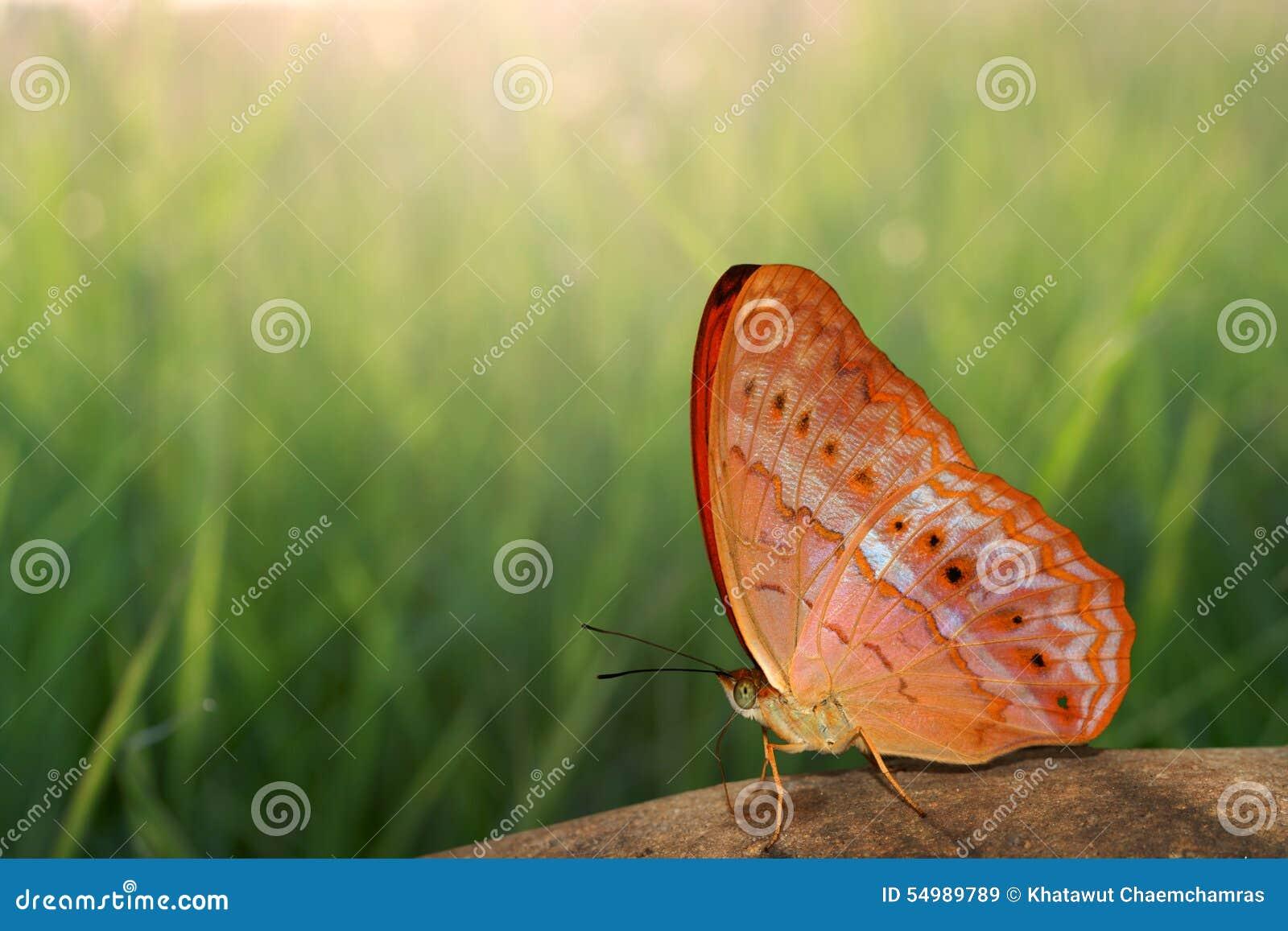 Fjärilen vaggar på och naturbakgrund