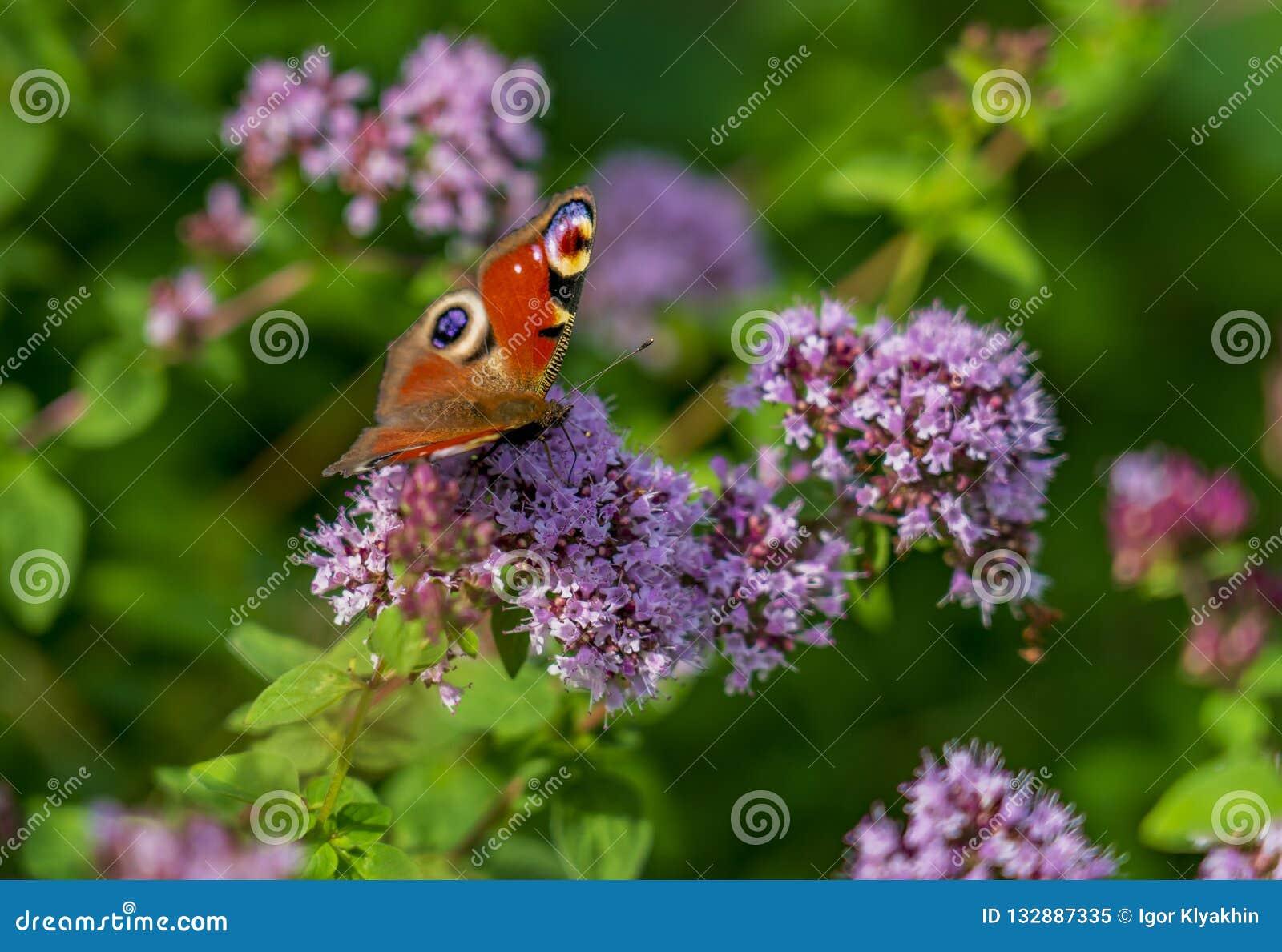 Fjärilsaglais io sitter på de fluffiga blommorna av verbena och att blomma i parkera eller i fältet