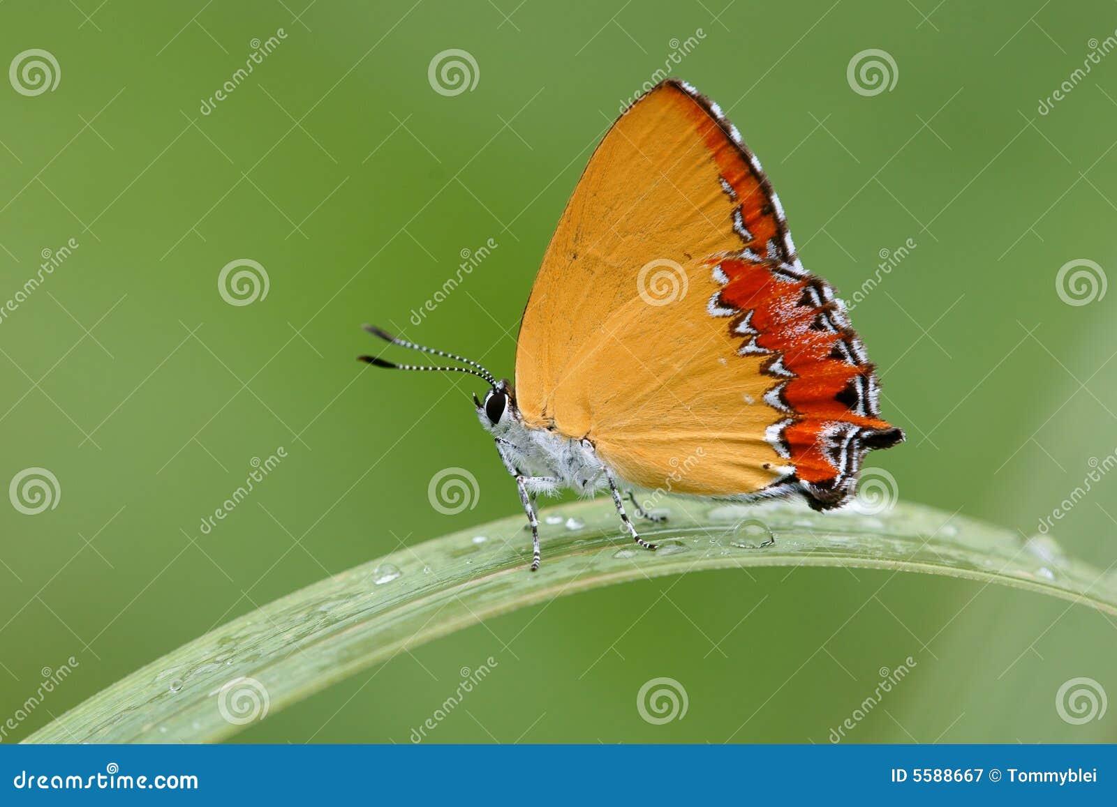 Fjärilsfärg