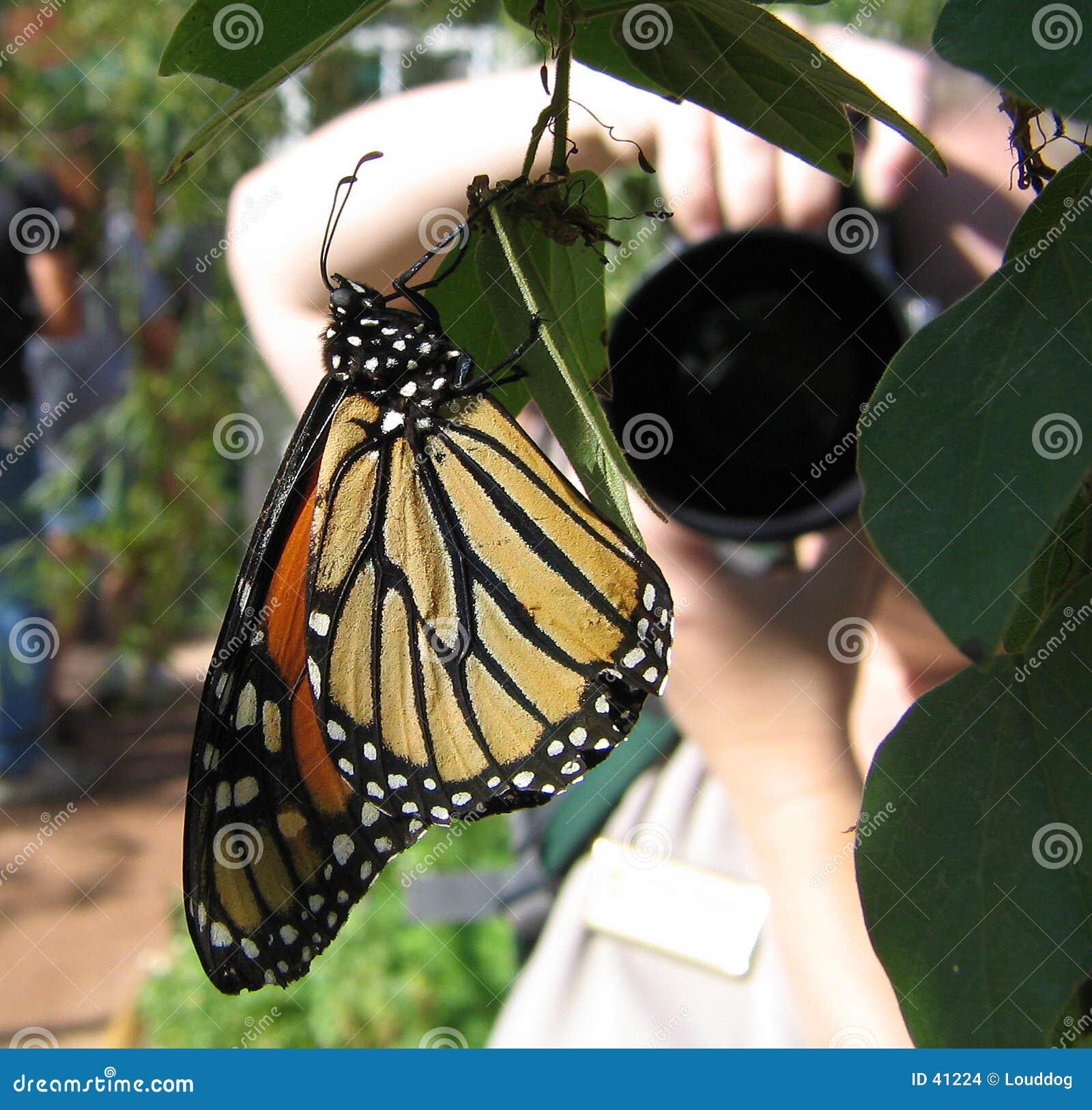 Fjärilsfotograf