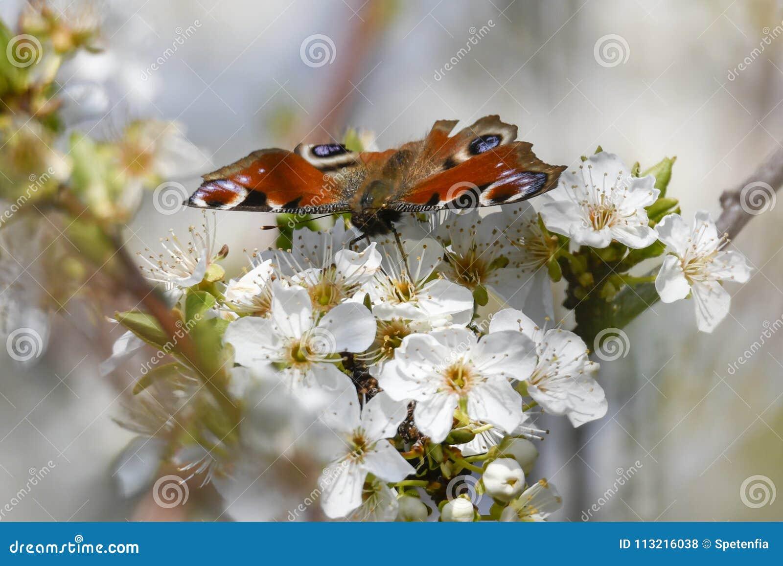 Fjärilsinachys io på blomman