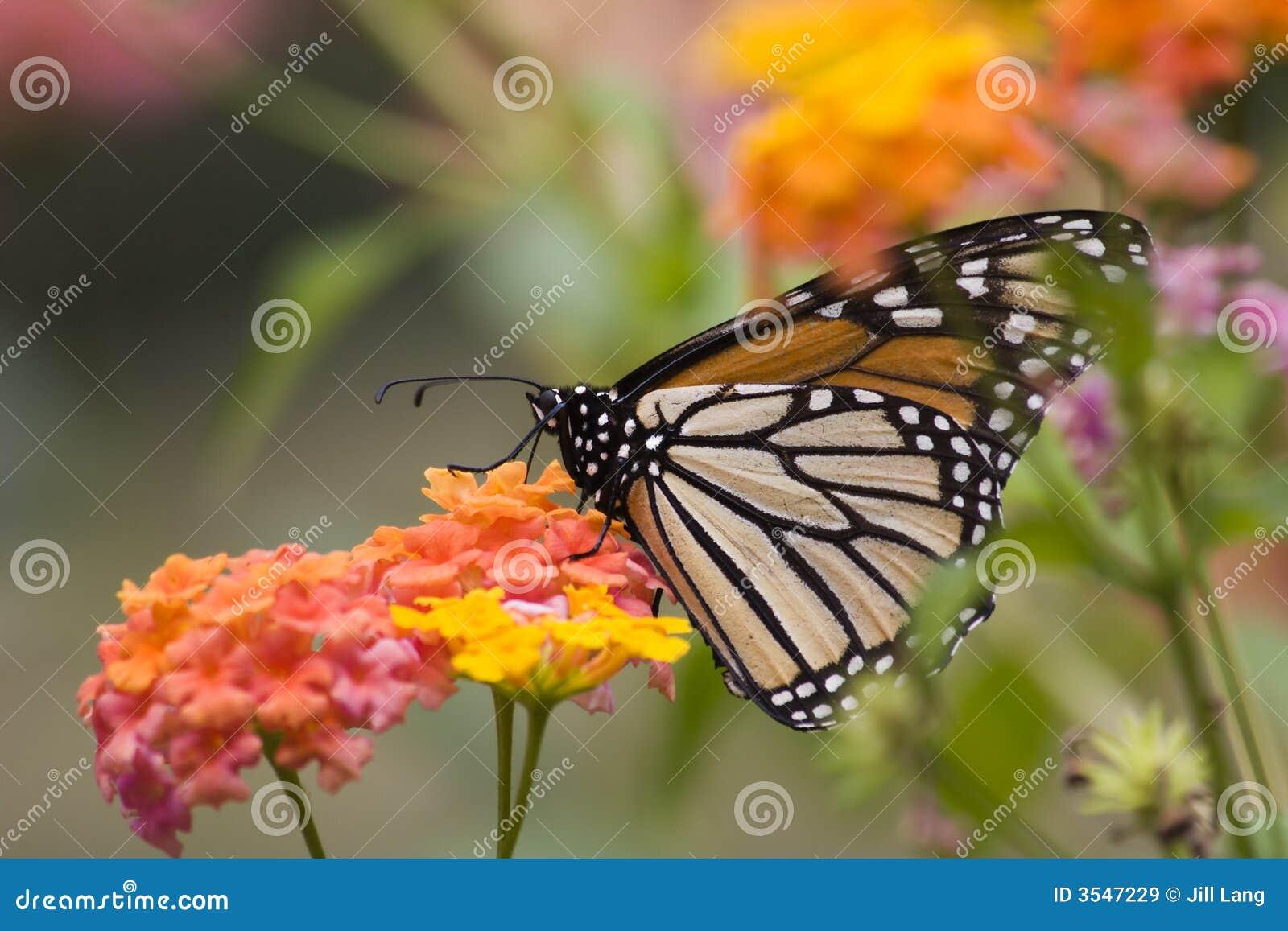 Fjärilsmonark