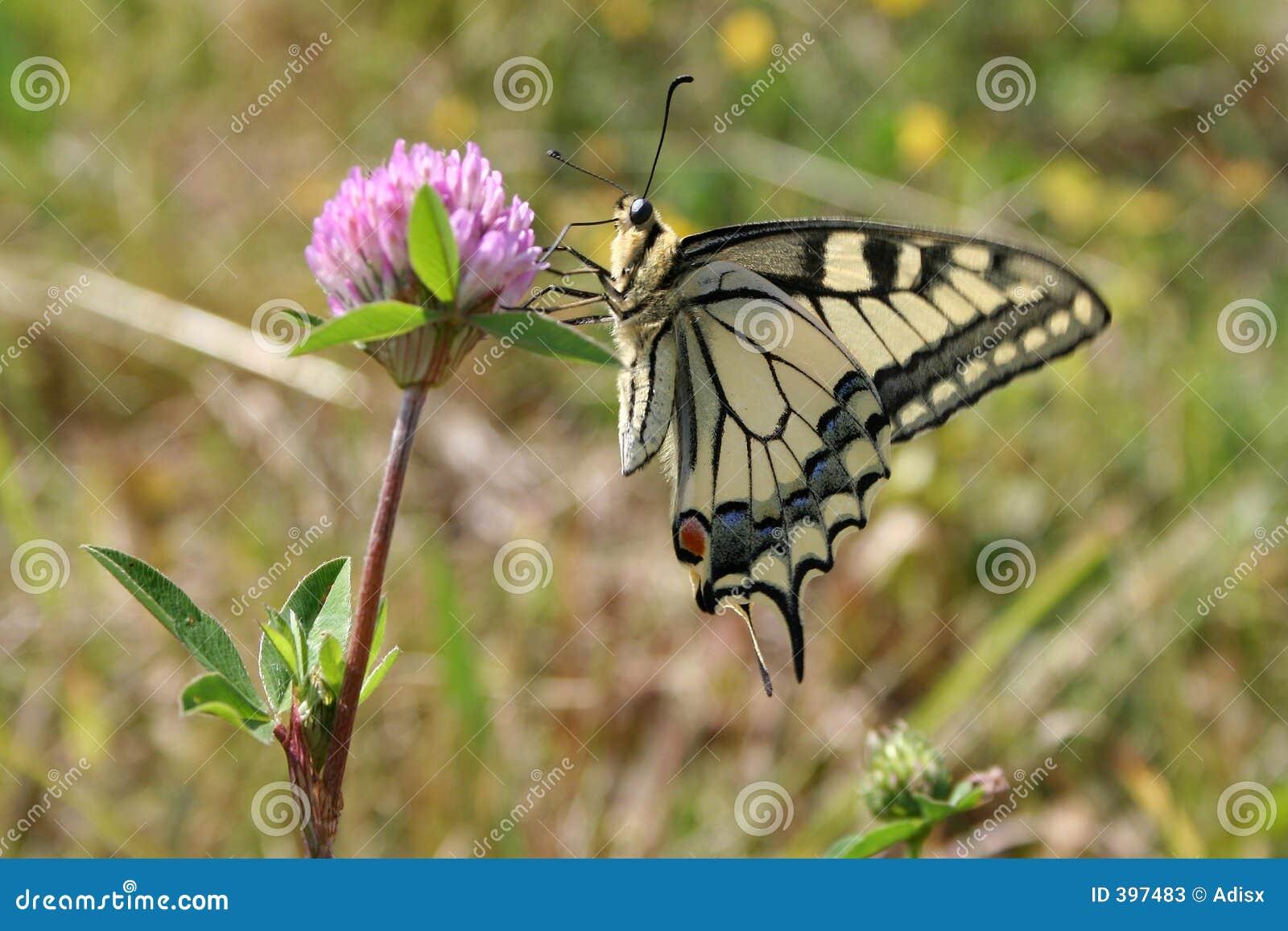 Fjärilsväxt av släkten Trifolium
