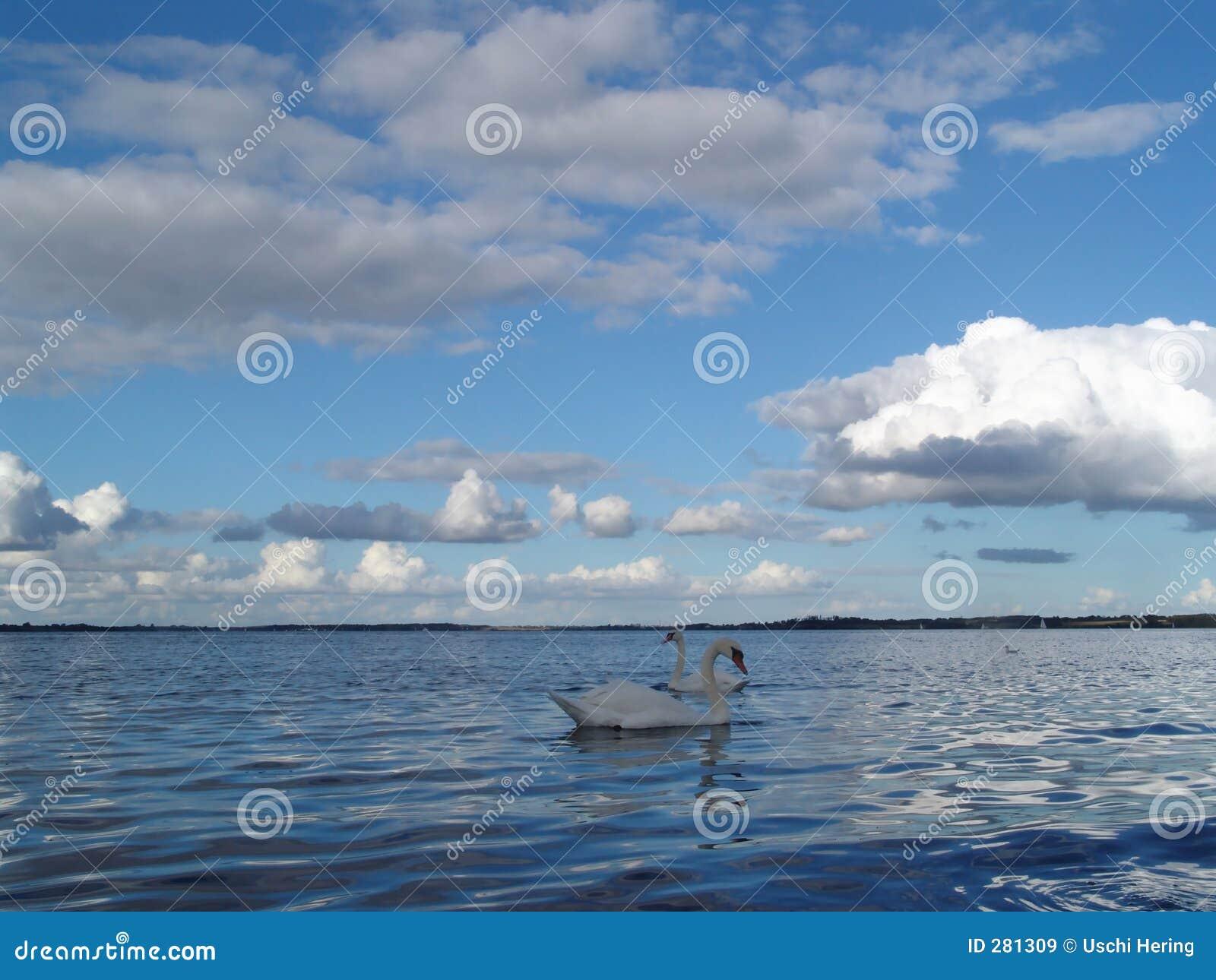 Fjord met zwanen