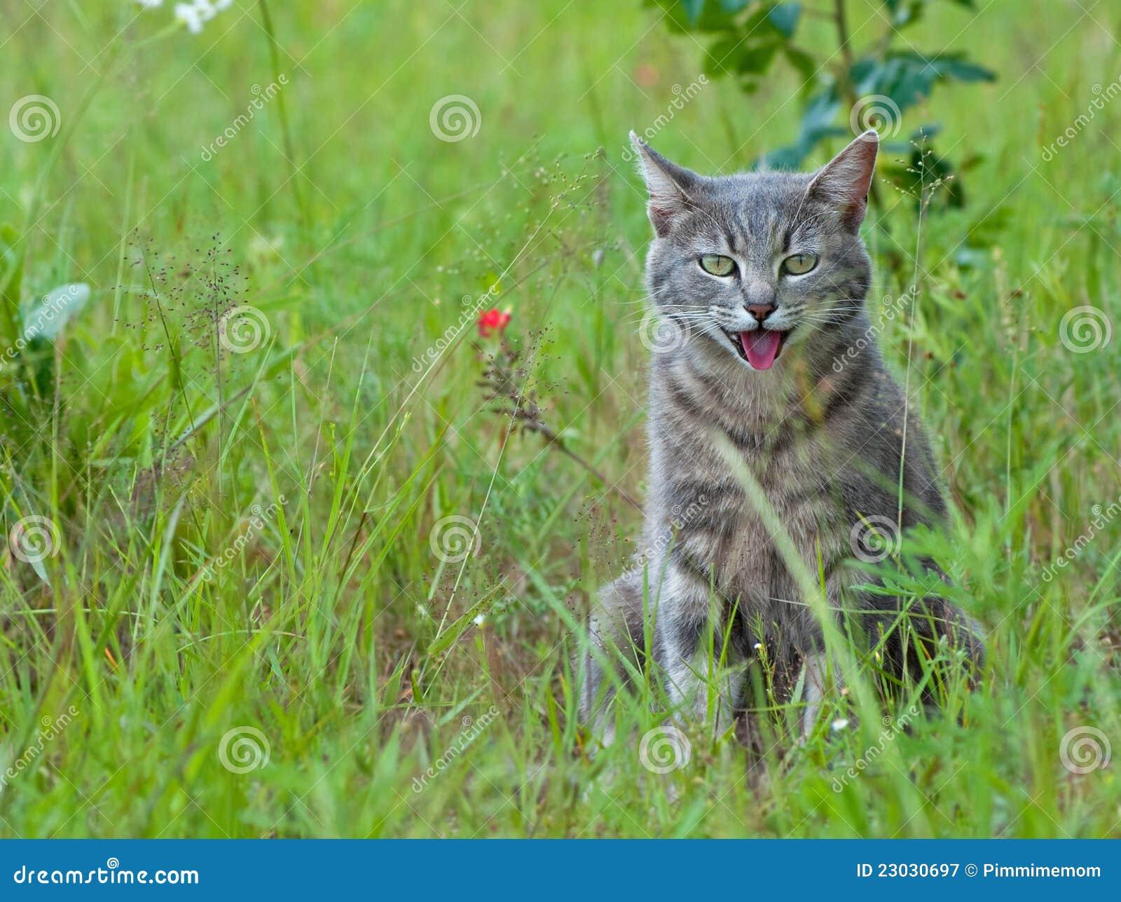 Flämtande tabby för blå katt