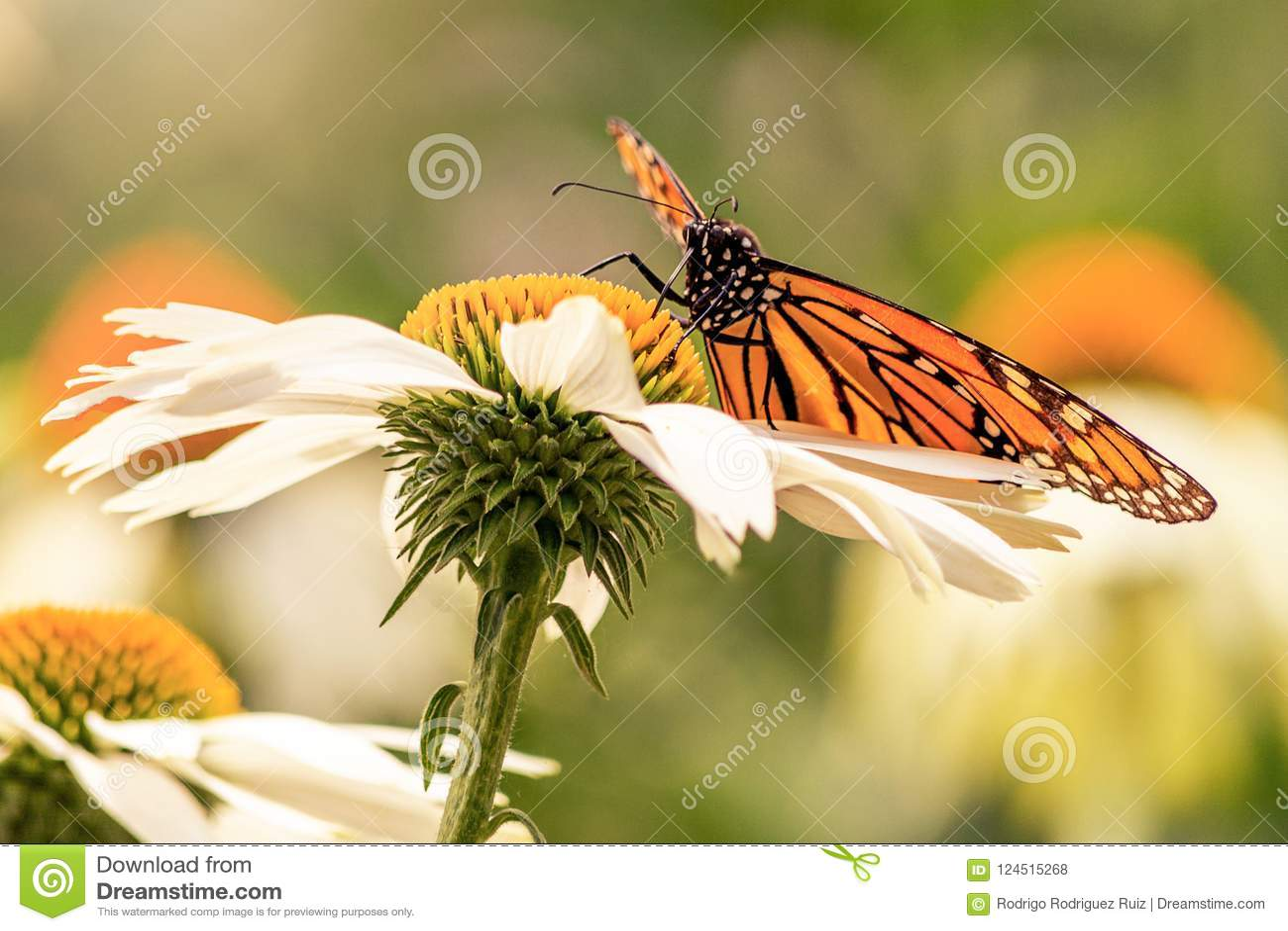 Flügel eines Monarchfalters