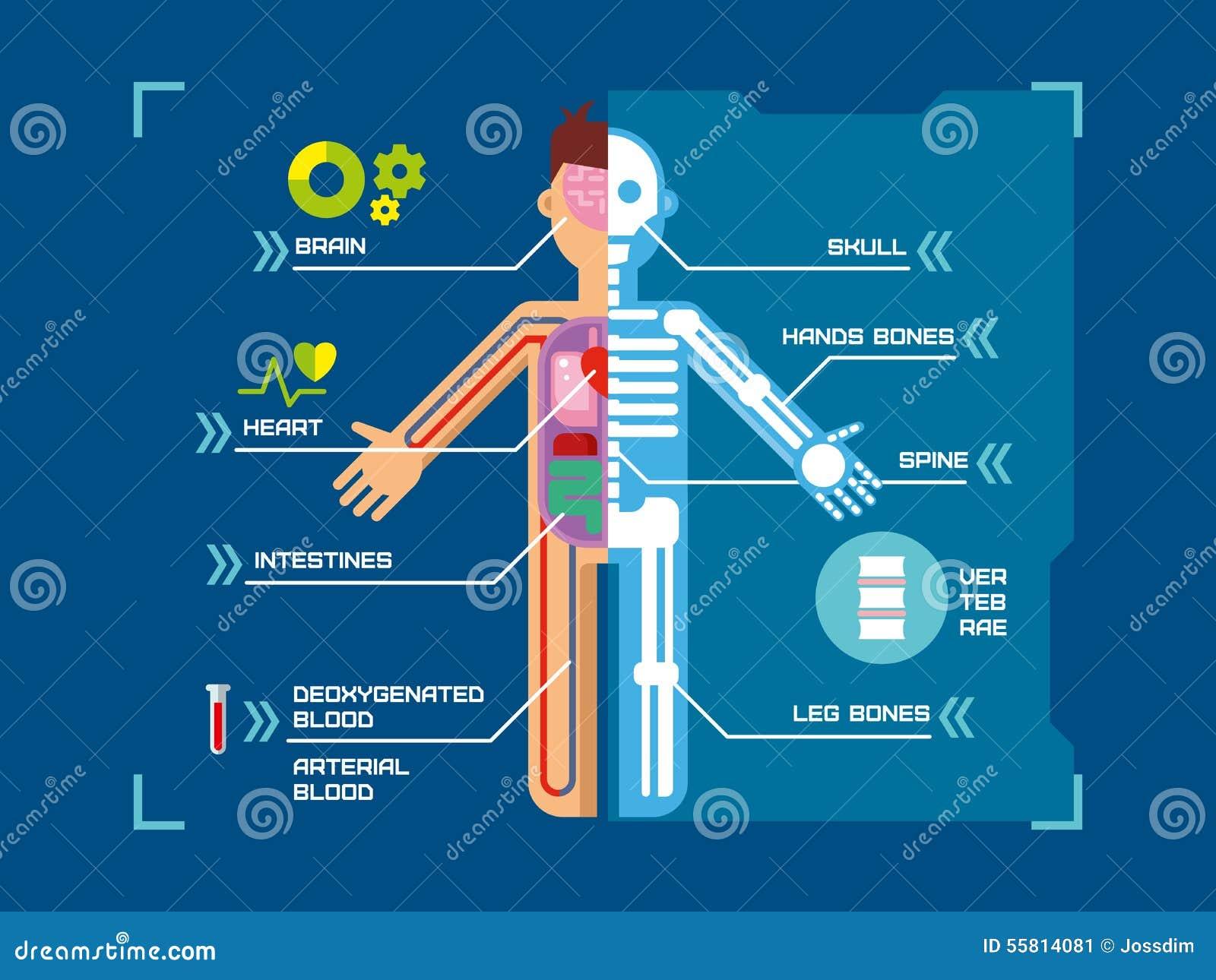 Flaches Design Menschlicher Körper-Anatomie Infographic Auf Blau ...