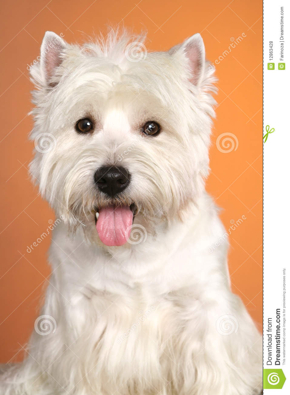 Flaffy Westy Terrier Royalty Free Stock Photos - Image: 12863428