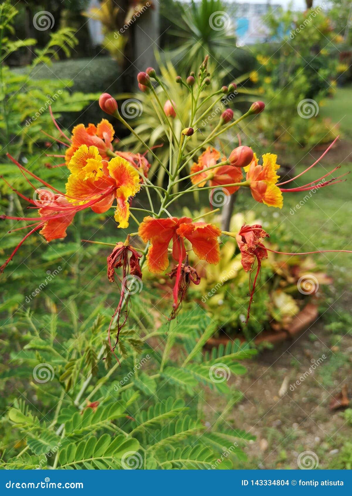 Flam-boyant, дерево пламени, королевское Poinciana