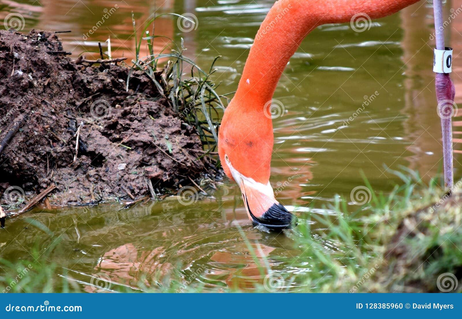 Flamant américain, plumage orange/rose, zoo de Ville d Oklahoma et jardin botanique