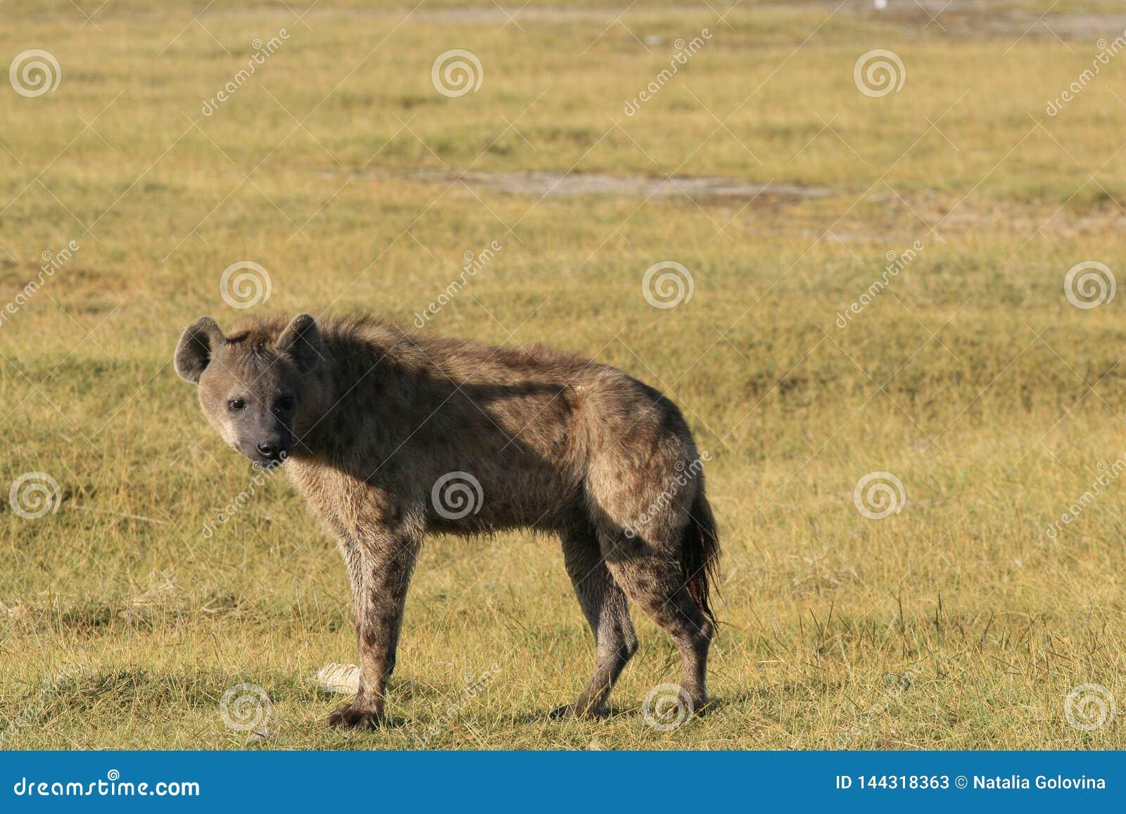 Flamant de chasse d hyène repérée sur le safari au Kenya Lever de soleil dans le lac Nakuru
