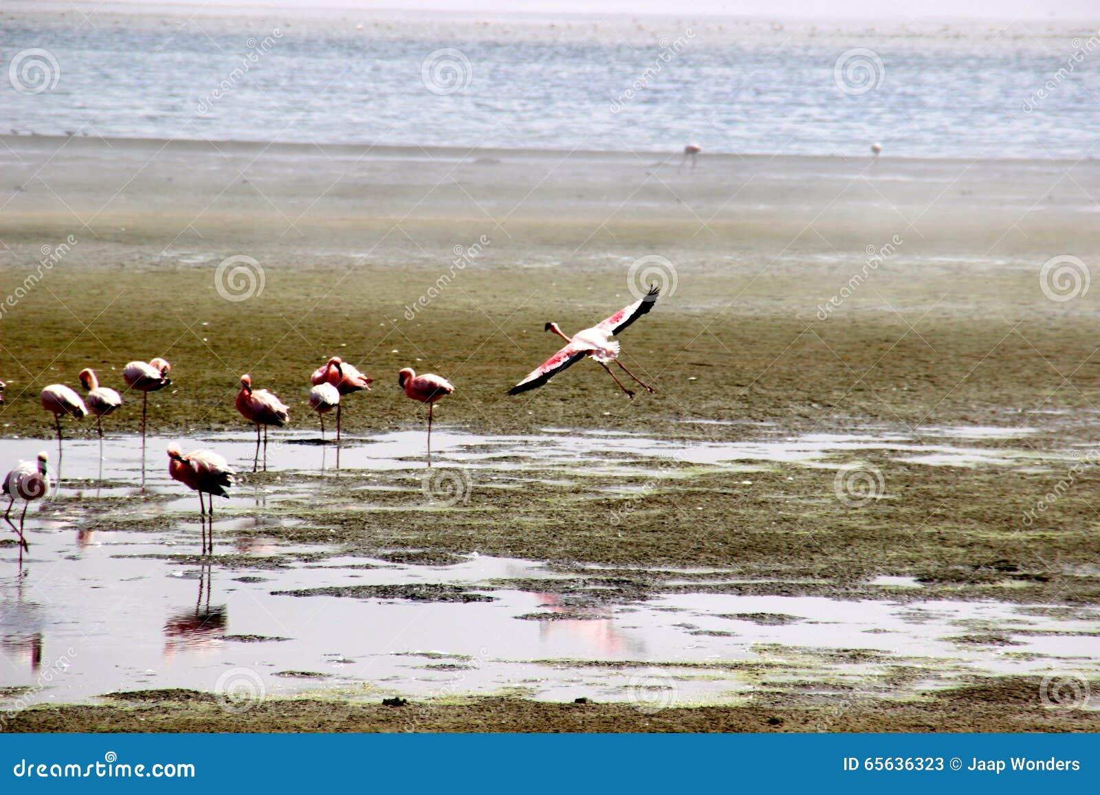 Flamant Namibie Afrique