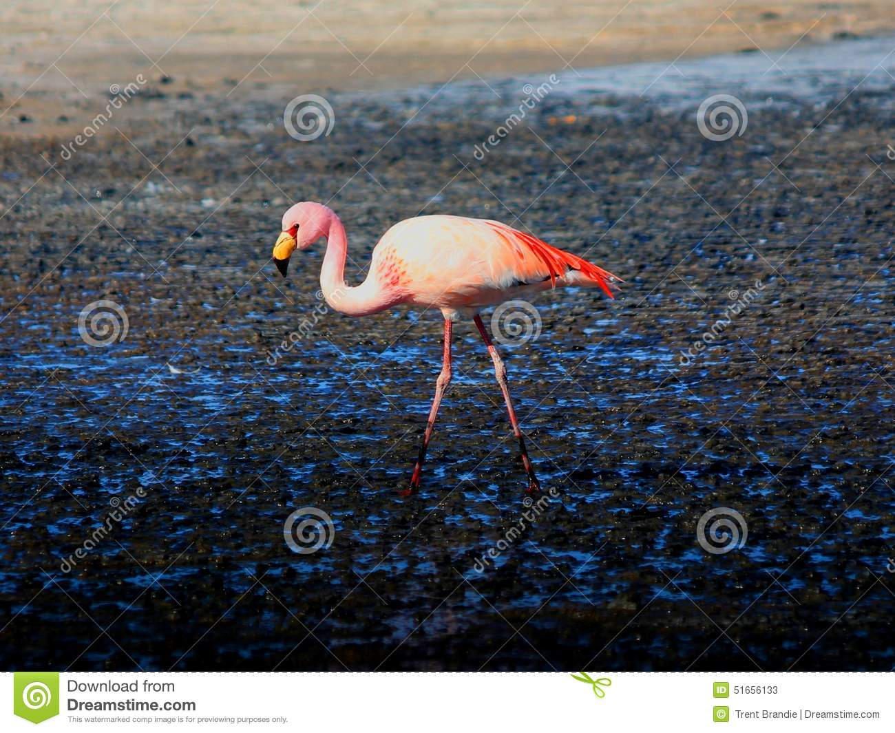 Flamant rose Bolivie