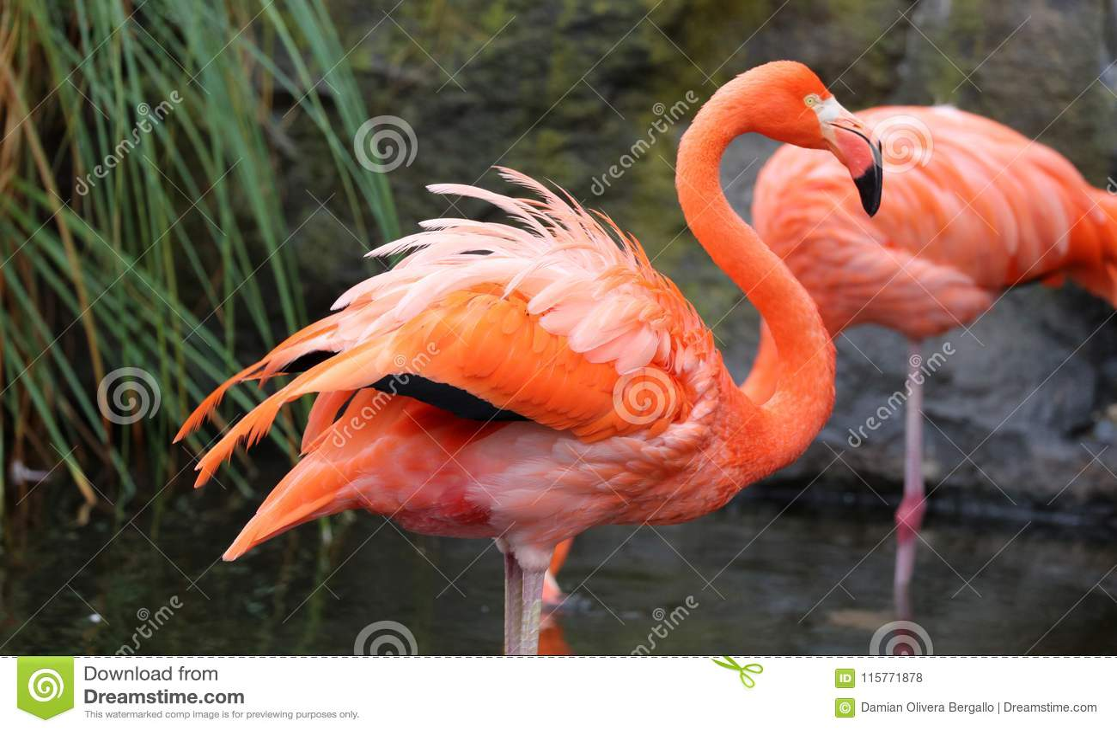 Flamant rouge unique dans un lac, haute photo de définition de cet aviaire merveilleux en Amérique du Sud