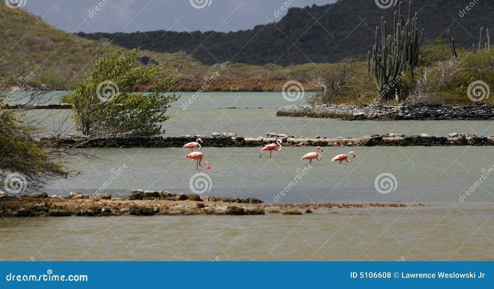 Flamants sauvages en le Curaçao 2