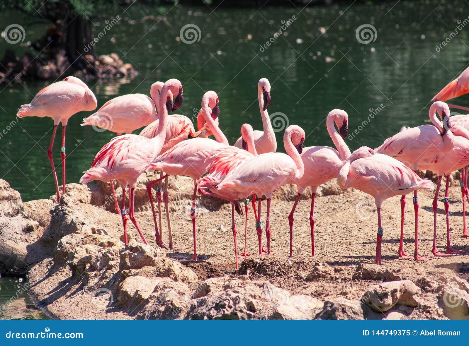 Flamboyance flamingi