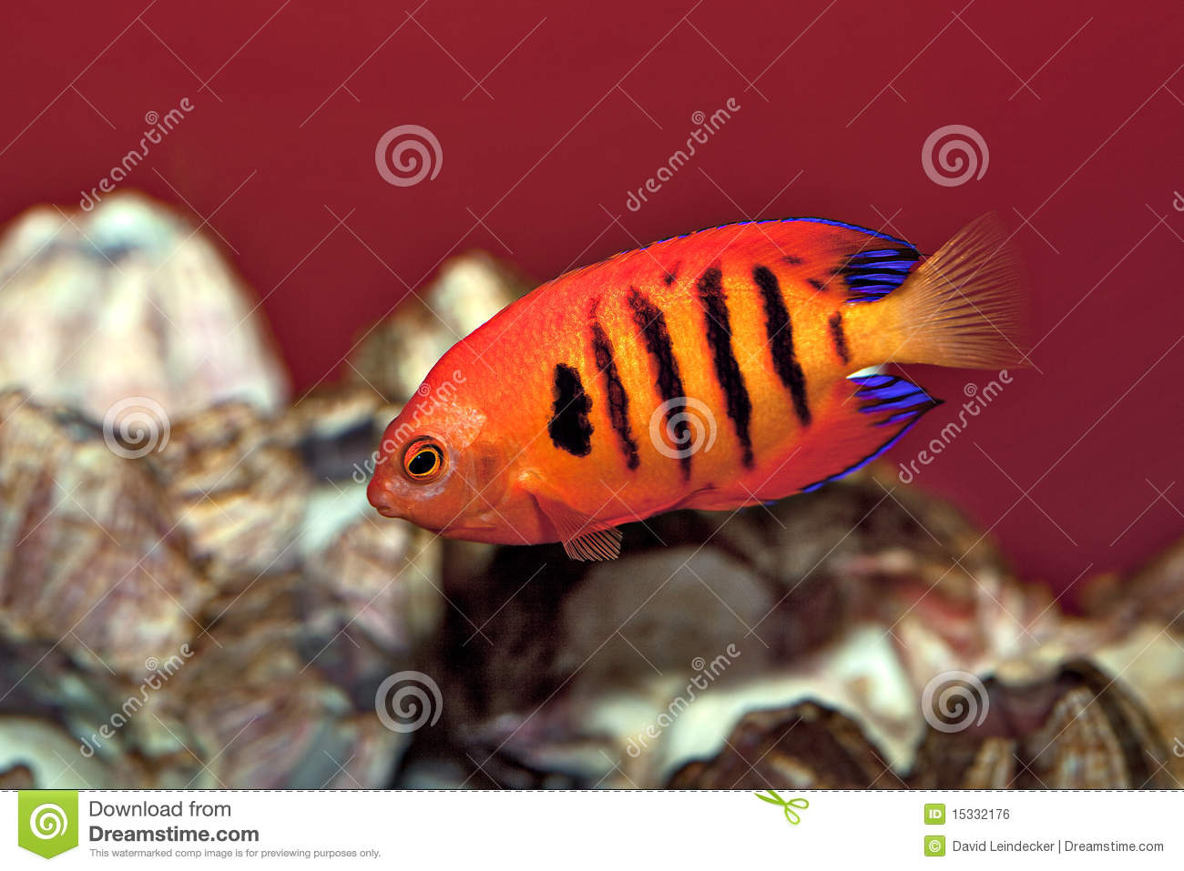Tropical Angel Fish With Stripes Stock Image - Image of marine ...
