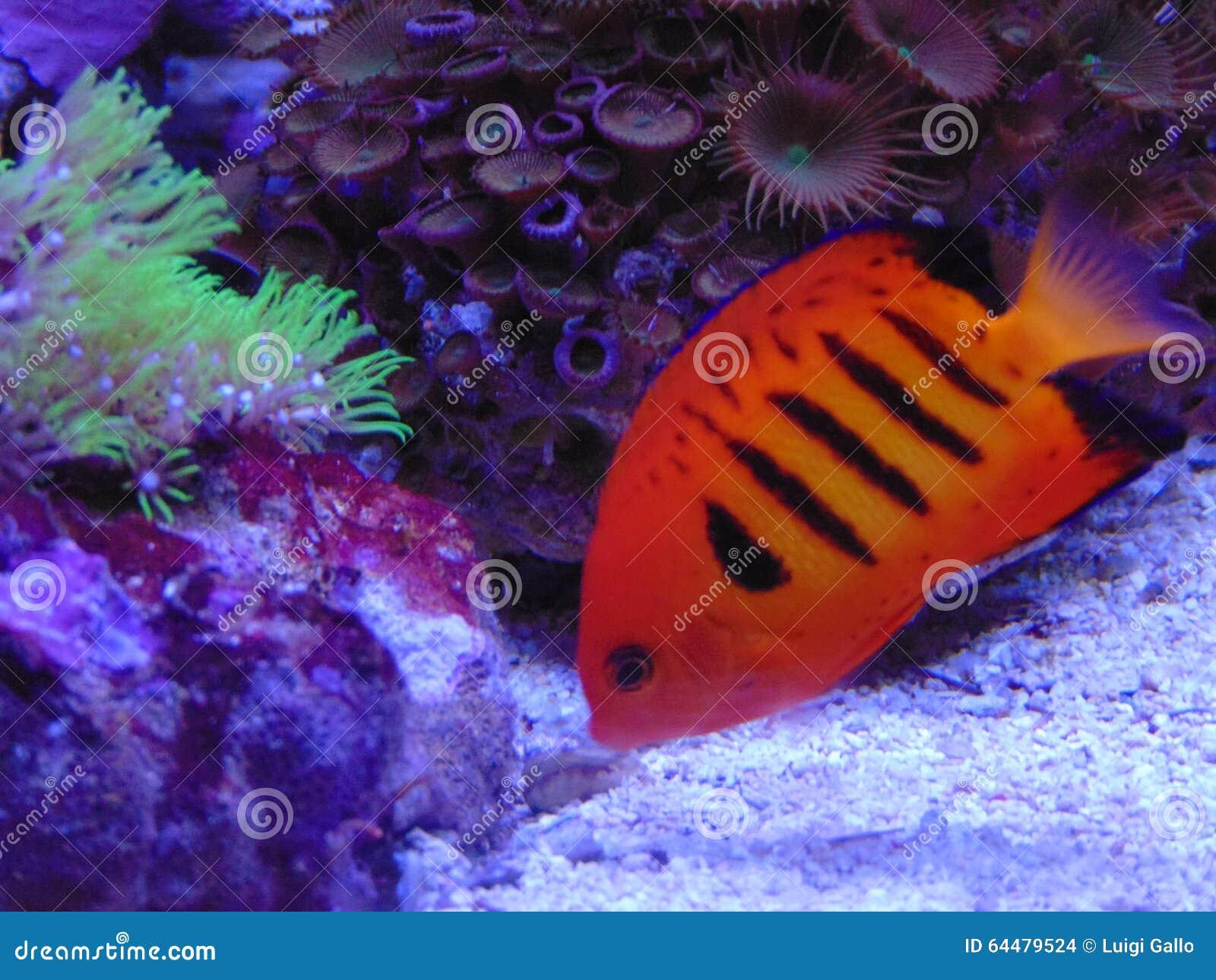 Flame angel fish loriculus stock photo. Image of angel - 64479524