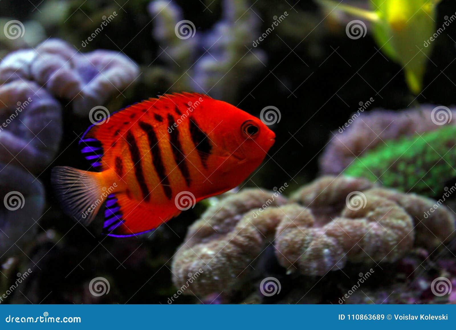Flame Angelfish Centropyge Loricula Stock Image Image Of Flame
