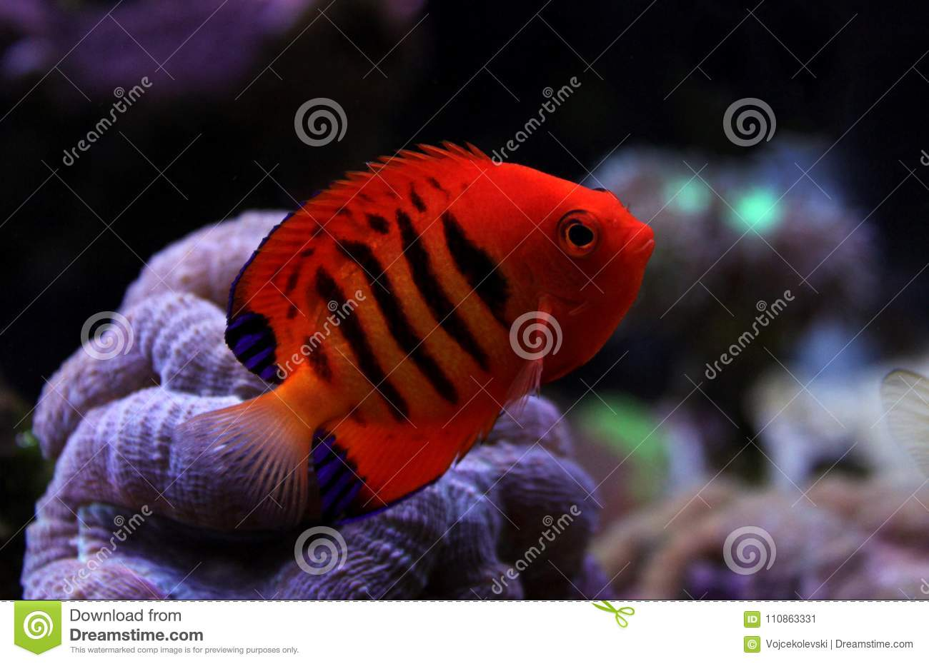 Flame Angelfish - Centropyge Loricula Stock Image - Image of ...