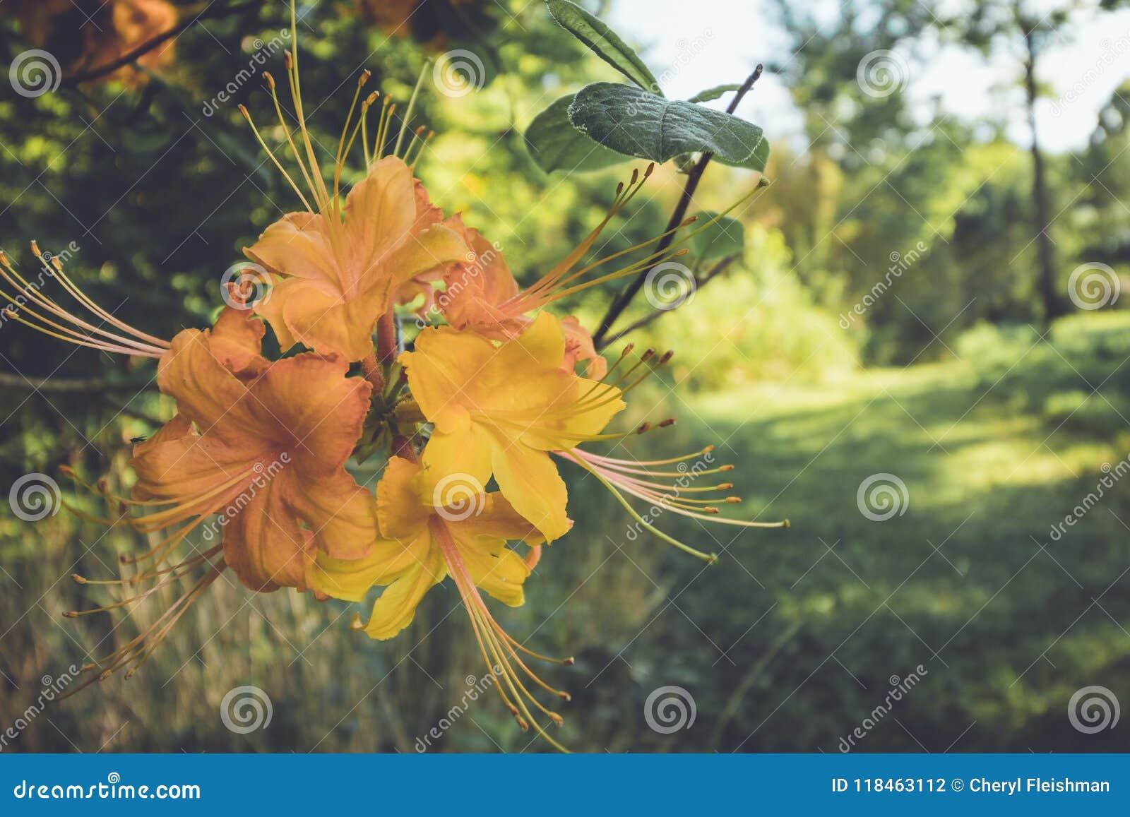 Flame Azalea Orange Bloom Flowers In Late Spring At Dusk In Vintage