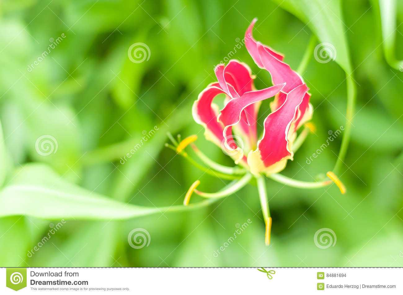 Flame lily flower stock photo image of closeup isolated 84881694 red and yellow x22flame lily x22 flower x28or climbing lily creeping lily glory lily gloriosa lily tiger claw fire lily x29 in brazil izmirmasajfo