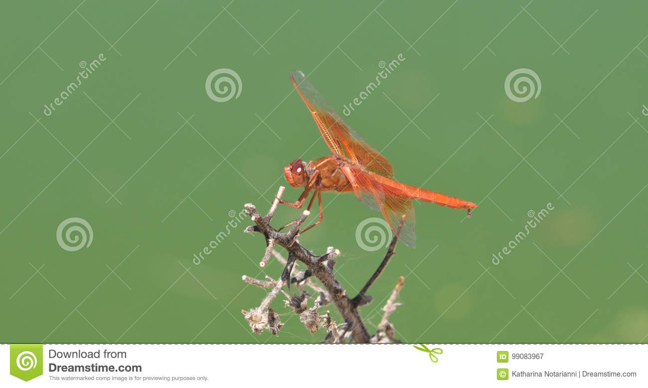 Flame Skimmer libellula saturata Dragon fly over Water