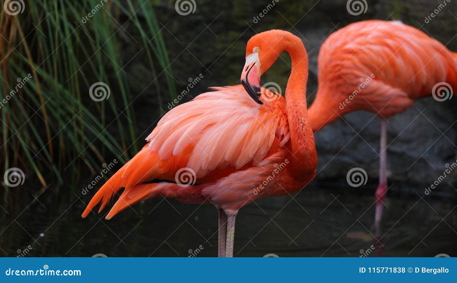 Flamenco rojo único en un lago, alta foto de la definición de este aviar maravilloso en Suramérica
