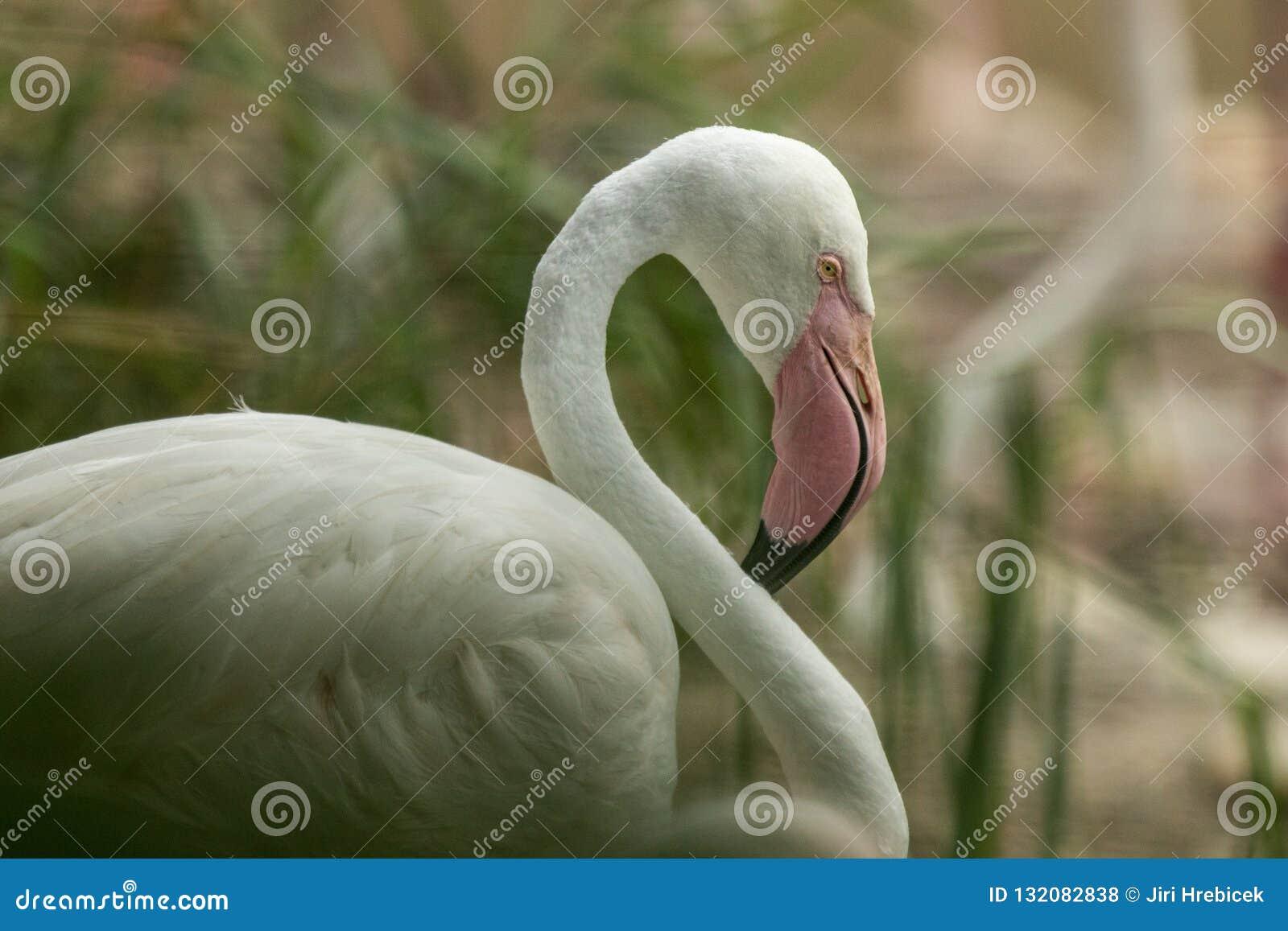 Flamenco rosado en el parque zoológico, phoenicopterus a solas del flamenco preparando sus plumas, pájaro rosáceo blanco hermoso