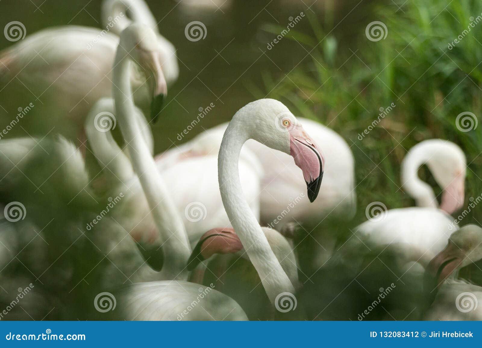Flamenco rosado en el parque zoológico, phoenicopterus a solas del retrato del flamenco, pájaro rosáceo blanco hermoso cerca de l