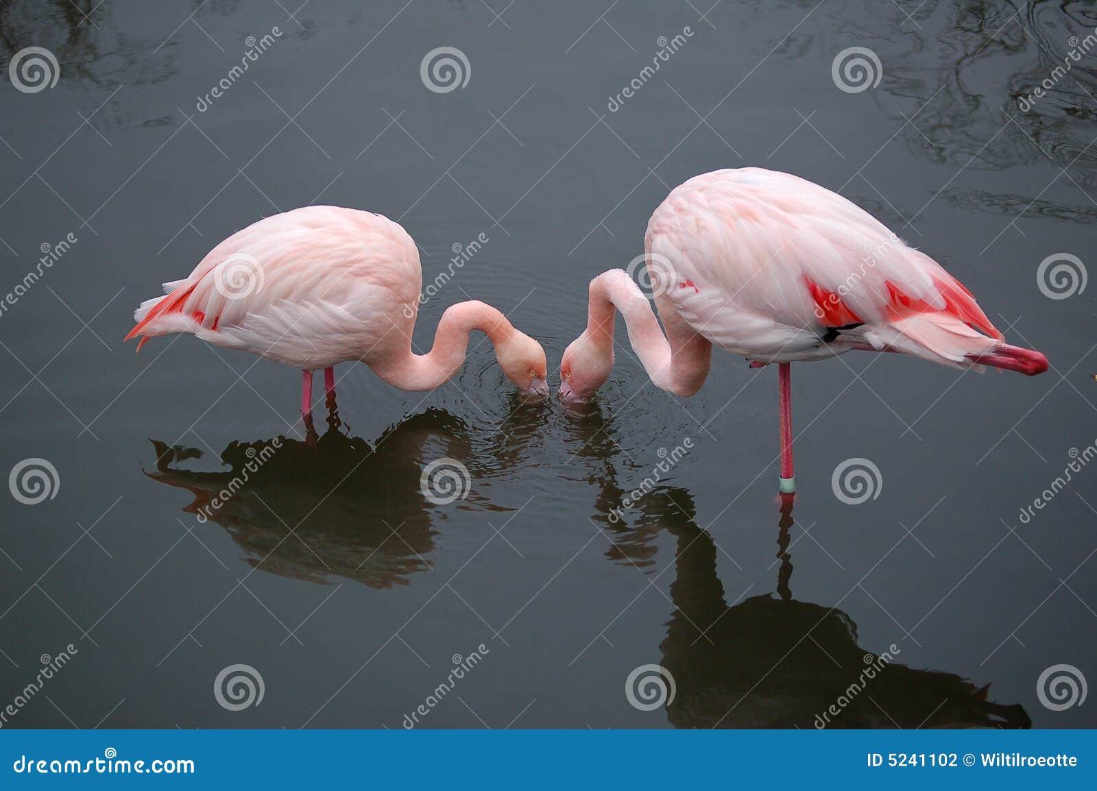 Q Comen Los Flamingos Flamencos que comen en armonia