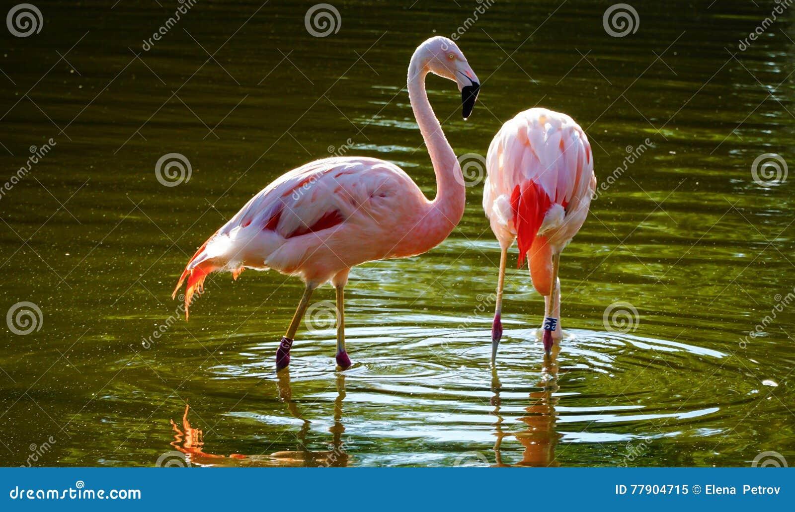 Flamencos rosados en una charca de agua