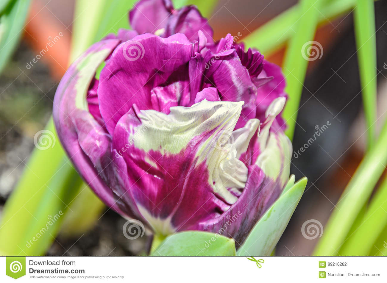 Flaming Parrot Tulip Violet And White Flower Close Up Stock Photo