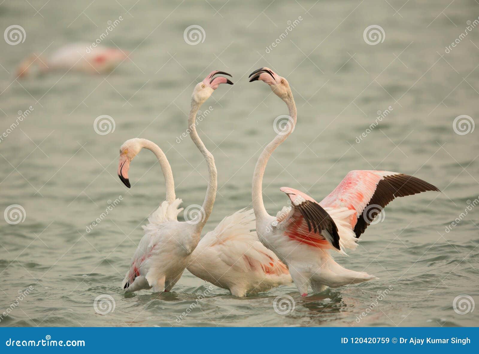 Flaminga koperczaki, Bahrajn