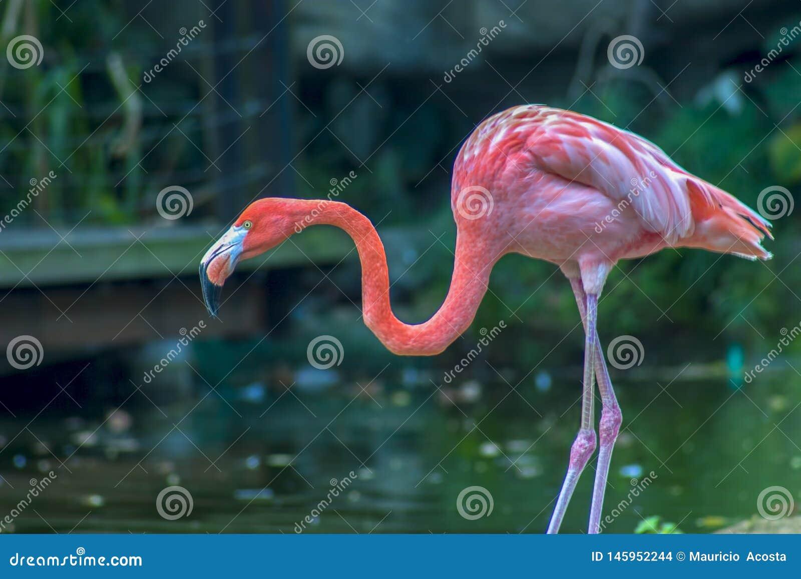 Flamingo americano que procura pelo alimento
