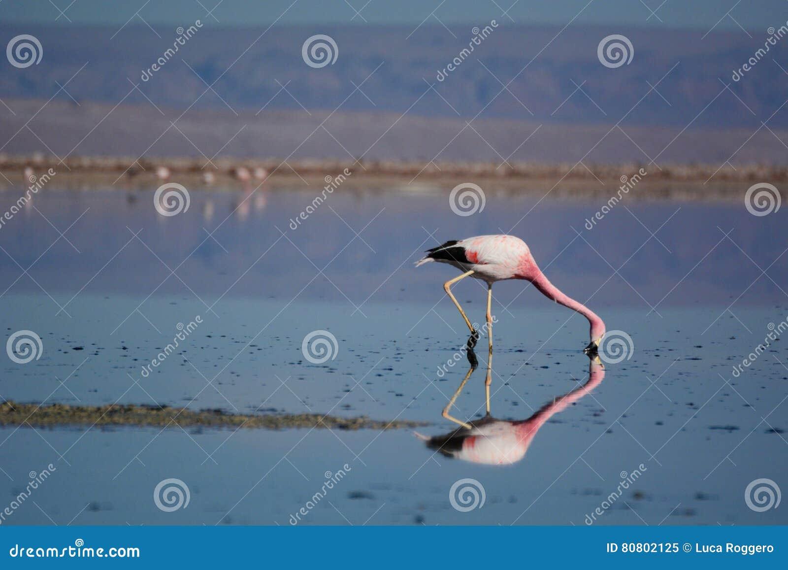 Flamingo andino que forrageia na lagoa de Chaxa Reserva nacional dos flamencos do Los chile