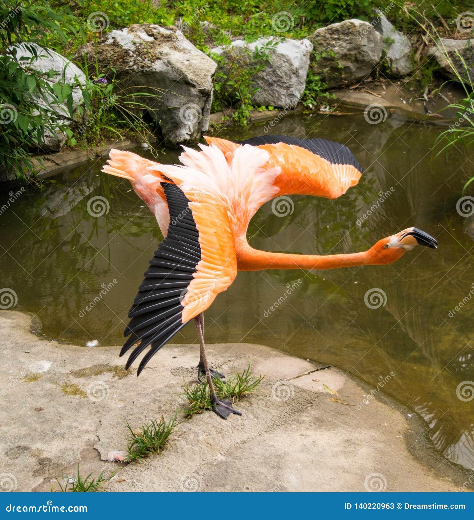 Flamingo com asas abertas