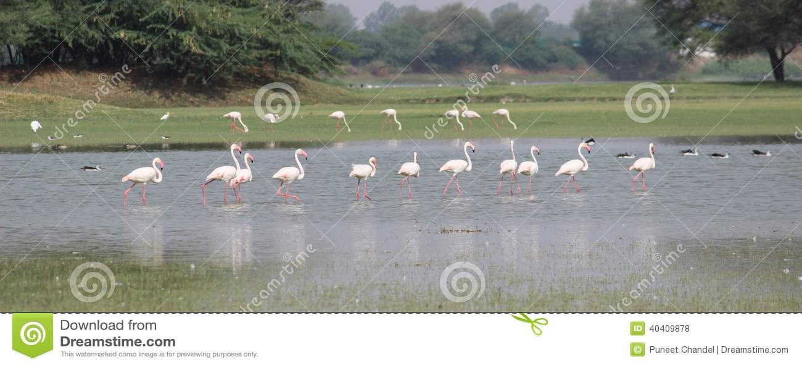 Flamingo, der in eine Linie im See geht