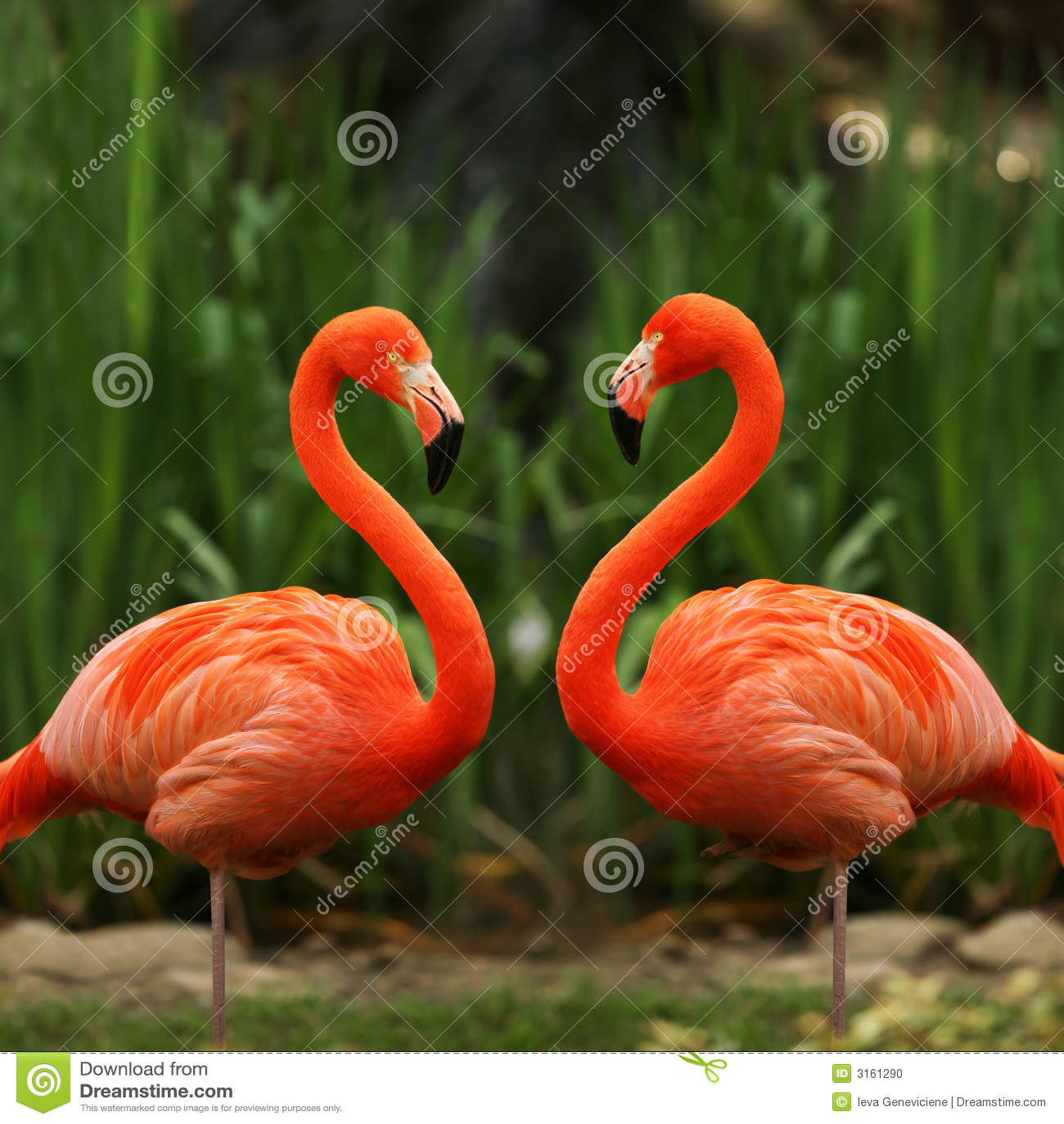 Flamingo do miłości