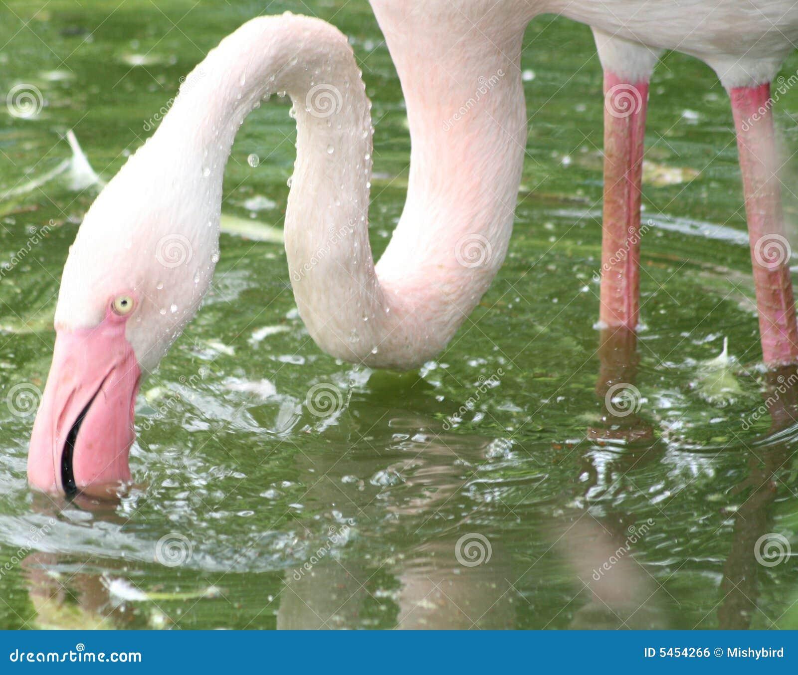 Flamingo feeding in water