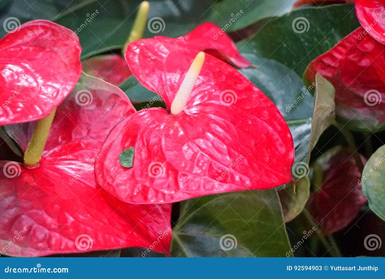 Flamingo flower stock image image of names floral color 92594903 download flamingo flower stock image image of names floral color 92594903 mightylinksfo