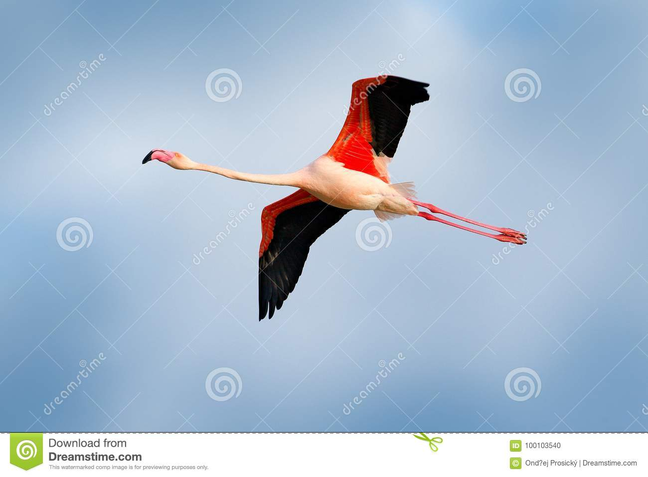 Flamingo in fly. Pink bird on the blue. Action wildlife scene from nature. Nature travel in France. Flying Greater Flamingo, Phoen